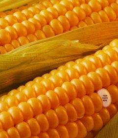 Photomontage to hide your picture on a grain of corn and say to your friends to found you.