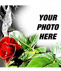 Customizable photo frame. Red rose, ideal for