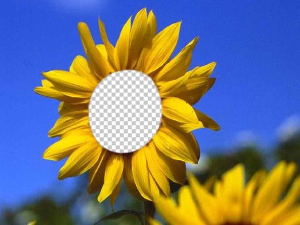Funny photomontage to put your face on a beautiful sunflower